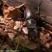 valmozzola-val-taro-luglio-2012-17-cervo-volante-lucanus-cervus-l