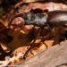 valmozzola-val-taro-luglio-2012-28-cervo-volante-lucanus-cervus-l