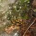 salamandra-berceto-parma-val-baganza-settembre-2012-207