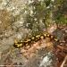 salamandra-berceto-parma-val-baganza-settembre-2012-208