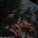 salamandra-berceto-parma-val-baganza-settembre-2012-217