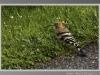 upupa-val-gotra-aprile-2012-2