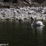 Cigno Bianco Reale Val Gotra - Taro (66)