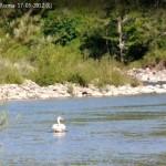 Cigno Reale Val Taro Albareto Parma  17-05-2012 (6)
