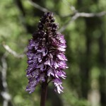 Oasi Ghirardi aprile 2012 (017) orchidea selvatica