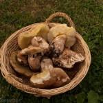 Comunalia Tombeto (53) porcino