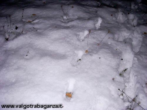 Lupo investito (03)c tracce nella neve