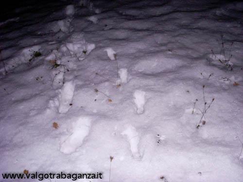 Lupo investito (17) tracce nella neve