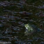 Lago di Gorro – Borgotaro (Parma) (213) Rana Verde (Esculenta)
