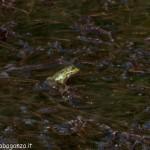 Lago di Gorro – Borgotaro (Parma) (215) Rana Verde (Esculenta)
