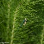 Lago di Gorro – Borgotaro (Parma) (342) libellula