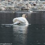 Albareto Cigno Bianco Reale Val Taro 09-02-2013 (142)