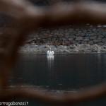 Albareto Cigno Bianco Reale Val Taro 09-02-2013 (171)