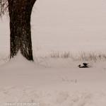 Ucellini neve 01-02-2012  (14) Albareto