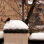 uccellini neve Bedonia 19-01-2013 (10) Merlo