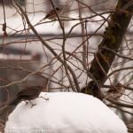 uccellini neve Bedonia 19-01-2013 (12) Merlo