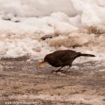 uccellini neve Bedonia 19-01-2013 (15) Merlo