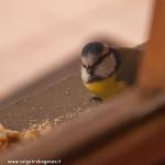 z finestra 01-02-2012 (12) davanzale Cinciarella