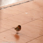 z finestra 01-02-2012 (13) Pettirosso