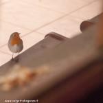 z finestra 01-02-2012 (15) davanzale Pettirosso