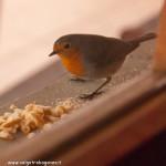 z finestra 01-02-2012 (17) davanzale Pettirosso