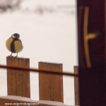 z finestra 01-02-2012 (19) Cinciallegra