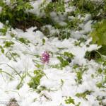 Cappelletta Passo neve primavera 24 –05-2013 (157) fiori