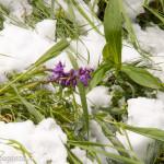 Cappelletta Passo neve primavera 24 –05-2013 (165) fiori
