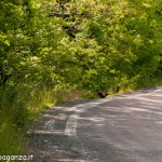 Fagiano Val Gotra-Taro primavera 2013 (12)