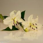 Still Life fiori (100) giglio