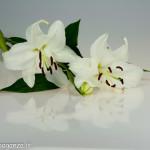 Still Life fiori (105) giglio