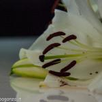 Still Life fiori (126) giglio bianco