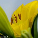 Still Life fiori (151) giglio giallo