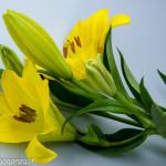 Still Life fiori (152) giglio giallo