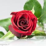 Still Life fiori (212) rosa rossa