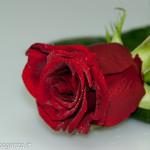 Still Life fiori (216) rosa rossa
