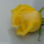 Still Life fiori (217) rosa gialla