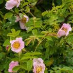 Val Taro primavera 2013 (104)rosa canina