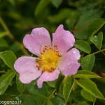 Val Taro primavera 2013 (105)rosa canina