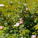 Val Taro primavera 2013 (149) cespuglio rosa canina