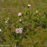 Val Taro primavera 2013 (154) cespuglio rosa selvatica