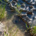 val Grontone - Alta Val Taro (16) tartaruga palustre