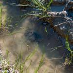 val Grontone - Alta Val Taro (20) tartaruga palustre