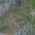 val Grontone - Alta Val Taro (37) tartaruga palustre