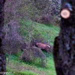 Cervo Parma Val Grontone primavera 2013 (21)
