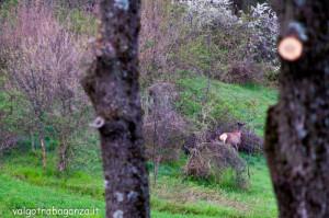Cervo Parma Val Grontone primavera 2013 (23)