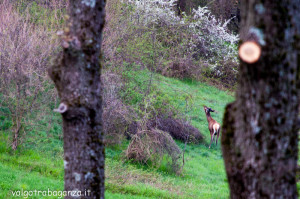 Cervo Parma Val Grontone primavera 2013 (25)