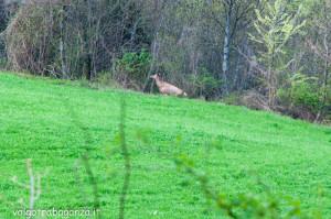 Cervo Parma Val Taro primavera 2013 (50)
