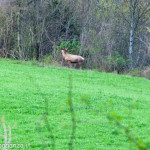 Cervo Parma Val Taro primavera 2013 (52)