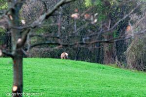 Cervo Parma Val Taro primavera 2013 (54)